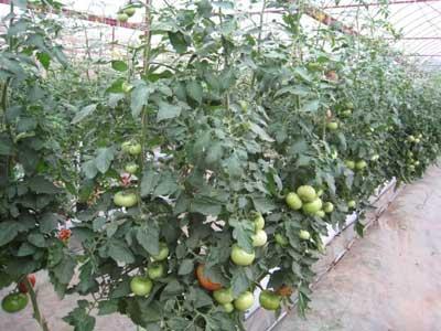 Giống cà chua trong nhà lưới