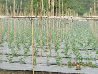 giàn trồng cây leo, tự làm giàn để trồng cây leo, kỹ thuật giang lưới cước giàn leo,cách làm  giàn cây leo