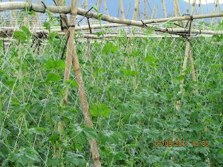 cách làm giàn lưới, lưới cước làm giàn bí, lưới cước làm giàn mướp, lưới cước làm giàn dưa leo