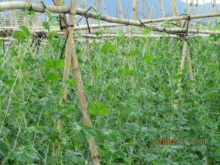 lưới cước giàn leo, lưới làm giàn mướp, bán lưới giàn leo, giá lưới cước làm giàn leo, cách làm giàn lưới
