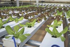 Các loại rau sạch có thể trồng trong nhà kính, Trồng rau sạch trong nhà kính