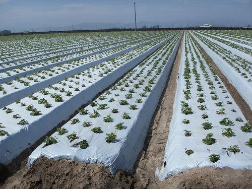 Hướng dẫn sử dụng màng phủ nông nghiệp để trồng rau.