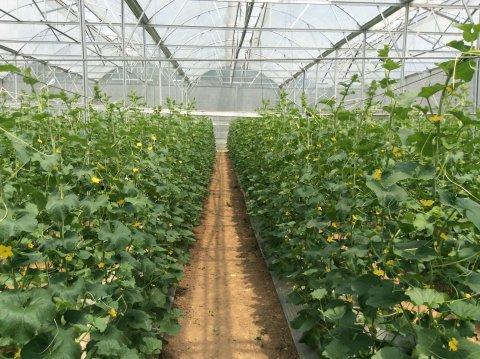Cơ bản kỹ thuật lắp dựng nhà kính trồng rau sạch