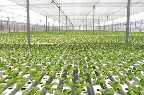 Kỹ thuật trồng rau nhà lưới -nhà kính bằng phương pháp thủy canh của Nhật Bản